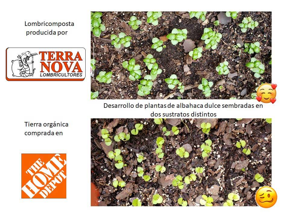 Comparativa de crecimiento planta de albahaca